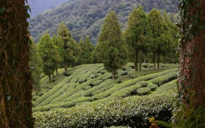 Fushoushan: The Farm, the Tea and the Imposters
