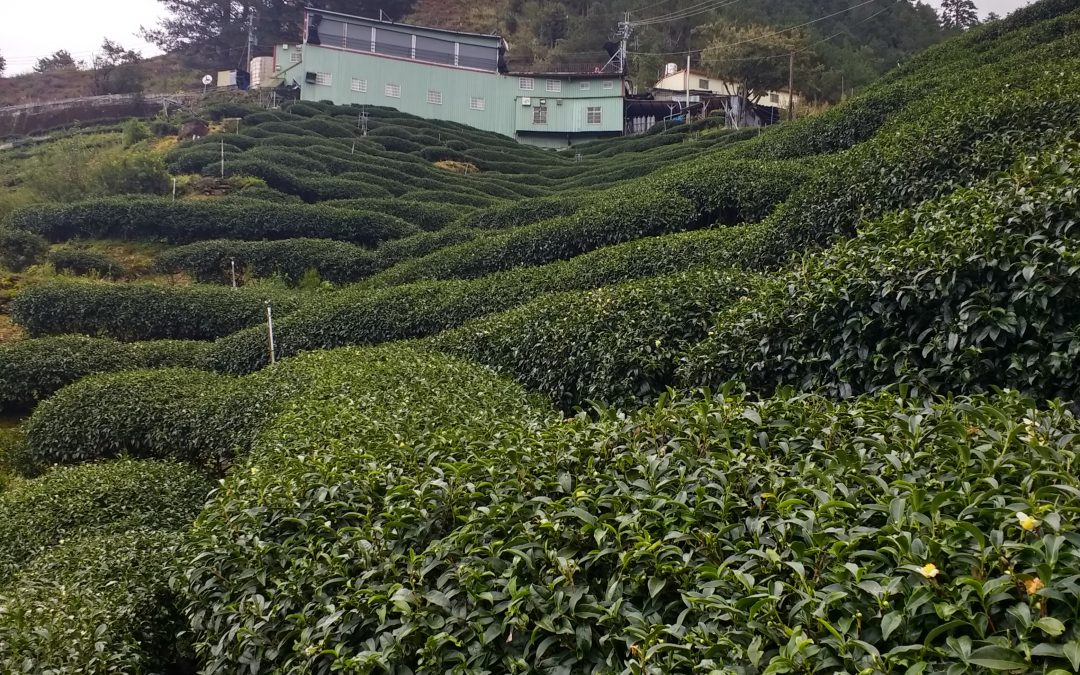 Gaoshan: Taiwan's New Tea